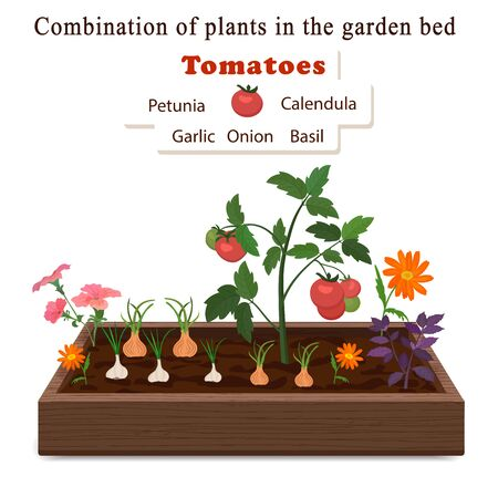 Growing vegetables and plants on one bed. Tomatoes, onions, garlic, calendula flowers and petunias. Vector