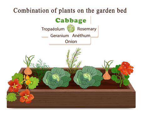Anbau von Gemüse und Pflanzen auf einem Bett. Kohl, Zwiebel, Blumen von Geranie und Kapuzinerkresse. Vektor