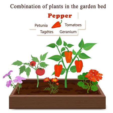 Growing vegetables and plants on one bed. Pepper, geranium, petunia, marigolds, tomatoes Vector