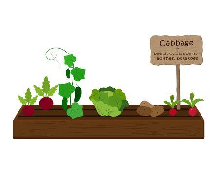 Anbau von Gemüse und Pflanzen auf einem Beet im Garten. Kohl, Rettich, Gurke, Kartoffel. Vektor Vektorgrafik