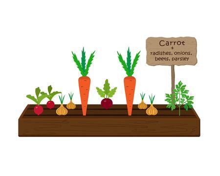 Anbau von Gemüse und Pflanzen auf einem Beet im Garten. Karotten, Petersilie, Radieschen, Rüben, Zwiebeln. Vektor