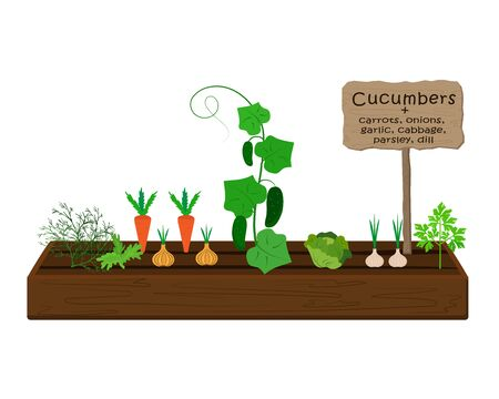 Growing vegetables and plants on one bed in the garden. Cucumbers, dill, parsley, carrots, cabbage, onions, garlic. Vector Vektorgrafik