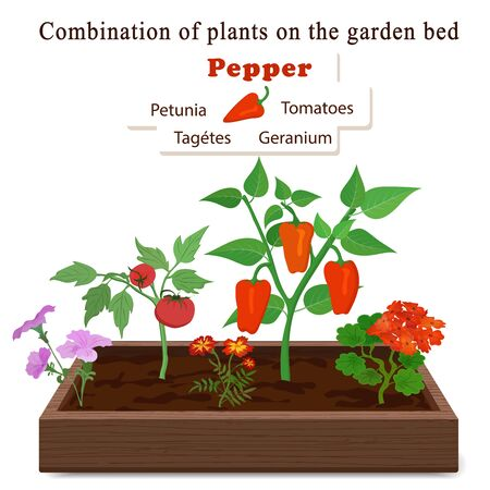 Growing vegetables and plants on one bed. Pepper, geranium, petunia, marigolds, tomatoes. Vector
