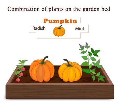 Growing vegetables and plants on one bed. Pumpkin, Mint, Radish. Ilustração