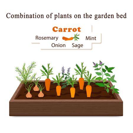 Anbau von Gemüse und Pflanzen auf einem Bett. Karotten, Rosmarin, Salbei, Minze, Zwiebelvektor
