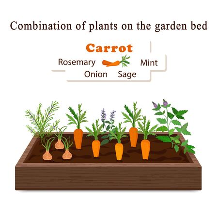 Growing vegetables and plants on one bed. Carrots, Rosemary, Sage, Mint, Onion Vector