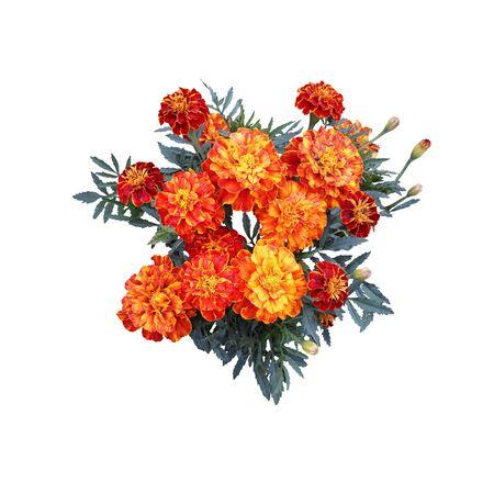 Red and Orange Marigold Flowers Isolated on White. Photo