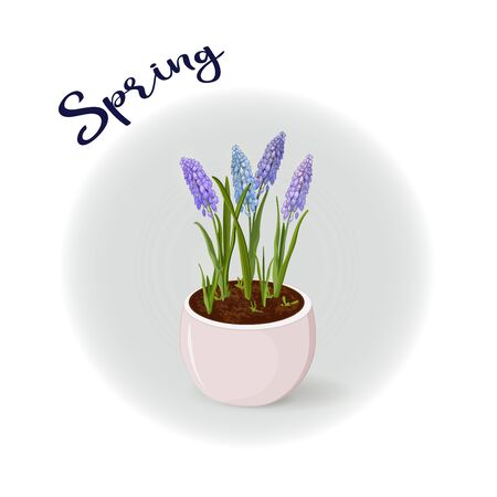 Muscari tender spring flowers in a flower pot