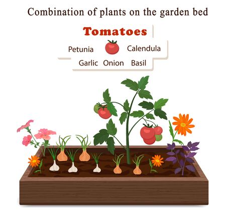 WebGrowing vegetables and plants on one bed. Tomatoes, onions, garlic, calendula flowers and petunias,basil