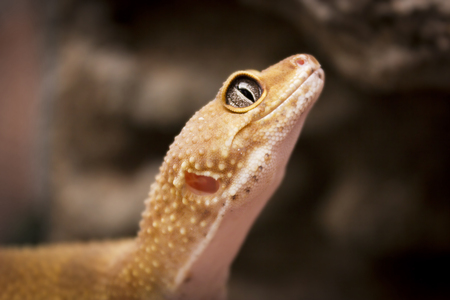 coldblooded: Cute orange lizard poses for the camera