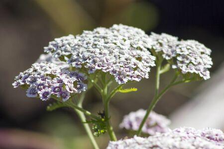 milfoil: White milfoil bloom on flowerbed in garden