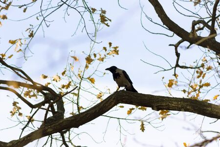 looking around: Crow sitting on a tree and looking around Stock Photo