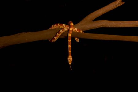 morph: Male of elaphe guttata corn snake, hypo bloodred morph