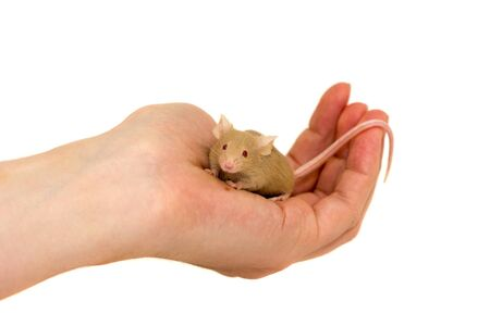 looking around: Little mouse sitting in hand and looking around