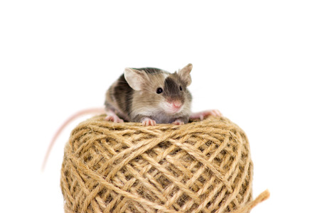 musculus: Little mouse sitting on jute rope reel Stock Photo