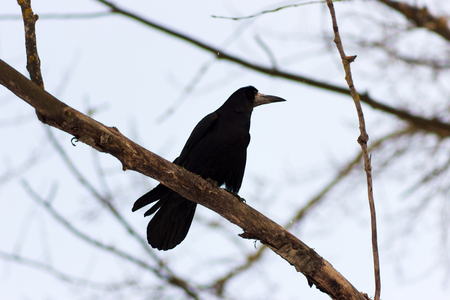 nontoxic: Beautiful rook (corvus frugilegus) sitting on a tree and looking around