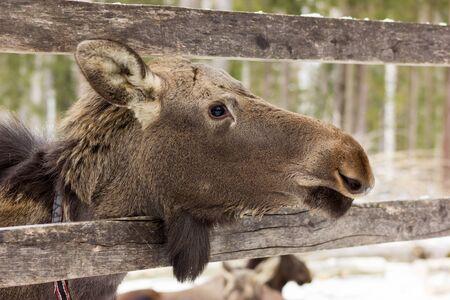 kostroma: Unique elk`s farm in Sumarokovo village, Kostroma, Russia
