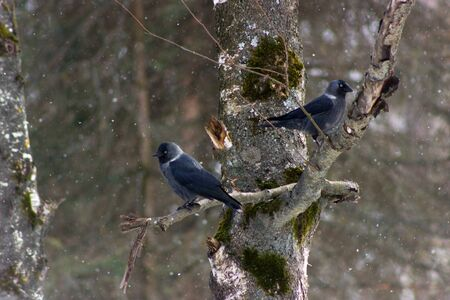 looking around: Beautiful daws (corvus monedula) sitting on a tree and looking around Stock Photo
