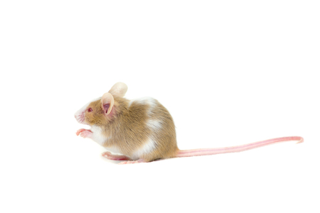 cute mouse: Little cute mouse isolated on white background