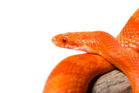 Cute corn snake female on a tree isolated on white, hypo fire morph