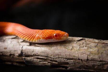 morph: Cute corn snake female on a tree on dark background, hypo fire morph Stock Photo
