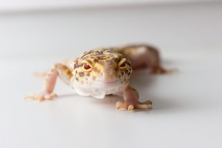 Cute leopard gecko (eublepharis macularius) on neutral background