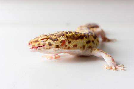 Cute leopard gecko (eublepharis macularius) on neutral background