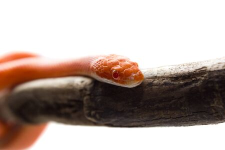 coldblooded: Cute corn snake female on a tree isolated on white, hypo fire morph