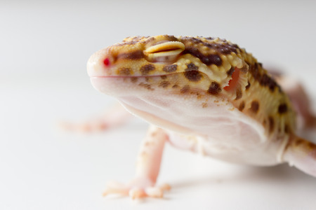 mack: Cute leopard gecko (eublepharis macularius) on neutral background
