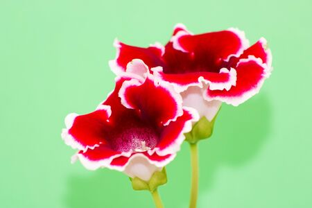 Blooming gloxinia (sinningia speciosa) red with white edging on green background