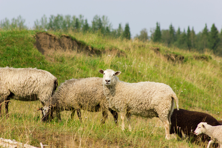 Flock of sheeps grazing on a pasture in sunny day Stock Photo