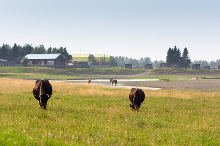 Beautiful rural lanscape with cows and village on background Stock Photo