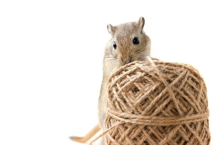 Fluffy cute rodent - gerbil on neutral background