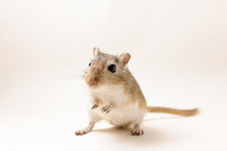 agouti: Fluffy cute rodent - gerbil on neutral background