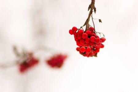 sorbus: Winter rowan (ashberry) on blurred light background Stock Photo