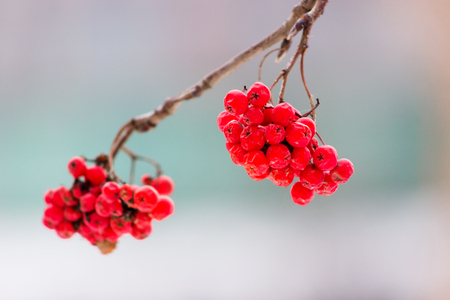 Winter rowan (ashberry) on blurred light background Stock Photo