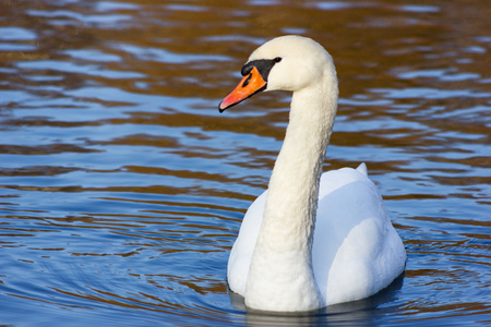 Young swan swims in the lake in side light
