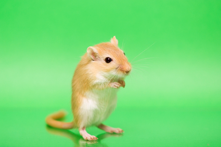 bright eyed: Fluffy cute rodent - gerbil on green  background Stock Photo