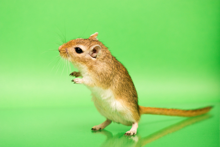 Fluffy cute rodent - gerbil on green  background Stock Photo