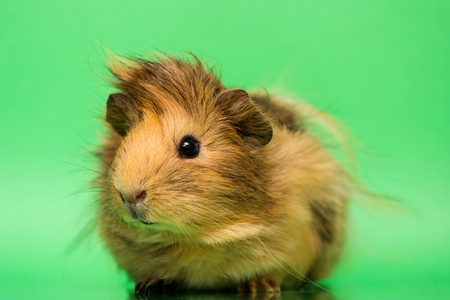 Fluffy cute rodent - guinea pig on green background Stock Photo