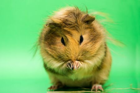 Fluffy cute rodent - guinea pig on green background 写真素材