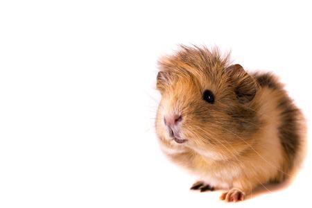 Fluffy cute rodent - guinea pig on neutral background Foto de archivo