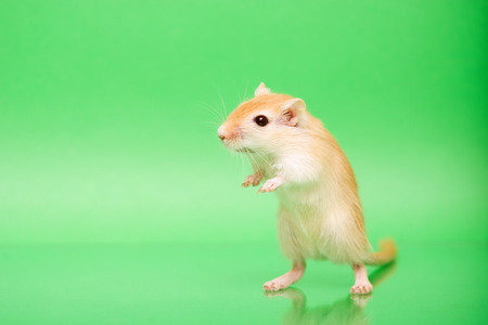 Fluffy cute rodent - gerbil on green  background Foto de archivo
