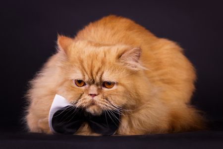 Orange persian cat with black bow tie on black background