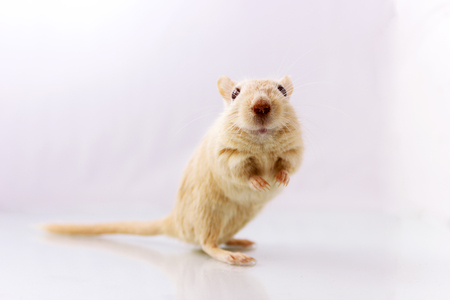 Fluffy small rodent - gerbil on white  background  looking in camera Stock Photo