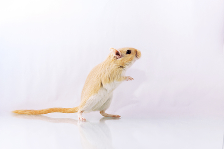 Fluffy small rodent - gerbil on white  background