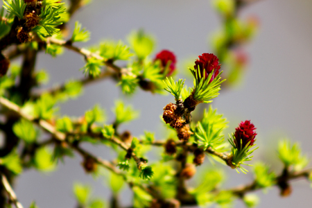 Young green needles and red cones of larch at blurred gray background in garden at sunny day Imagens