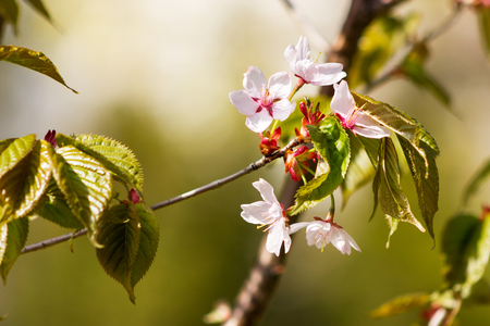 One blooming branch of sakura at blurred green background in rim lighthing