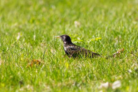 Iridescent starling walking on the grass and looking forward at sunny day