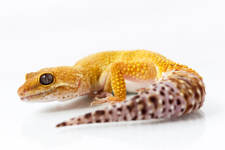 Orange leopard gecko walking and looking forward on white background Stock Photo